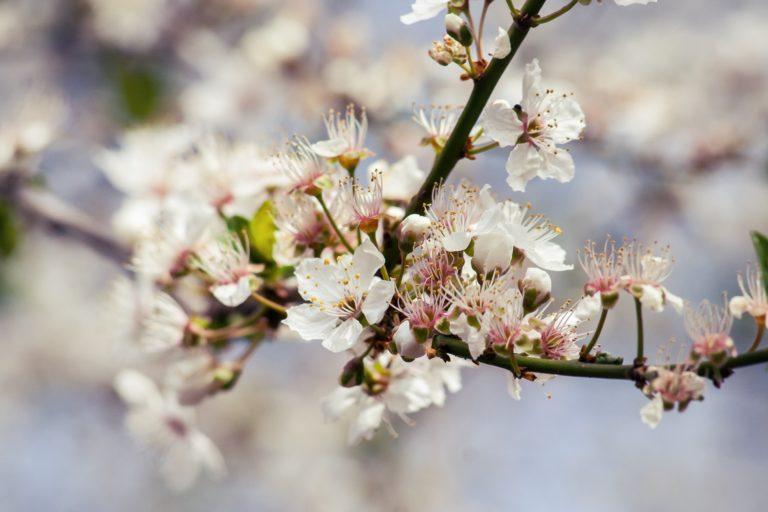 Begleitung bei Veränderungsprozessen Shiatsu Massagen. Blühender Kirschzweig